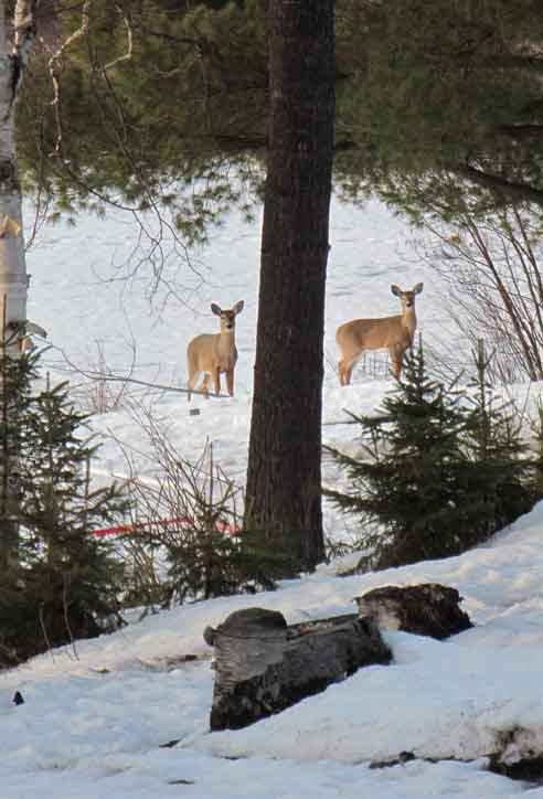 Deers on Spring Lake.